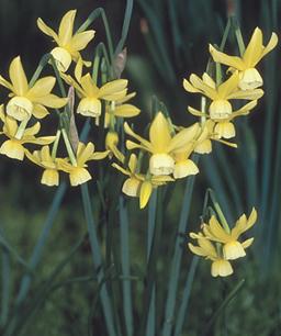 Narcissus hawara